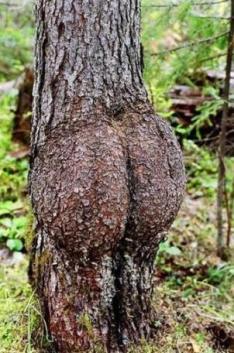 gambar-pohon-lucu-berbentuk-pantat